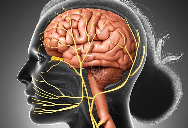 The 12 cranial nerves extend from your brain and brain stem, responsible for helping you control different motor and sensory functions.