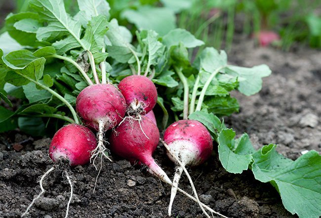 Radish is an edible vegetable root with a pungent, sweet taste.