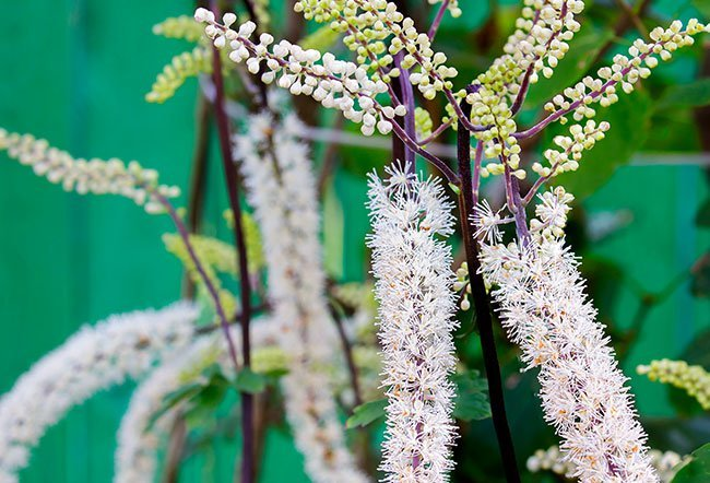 Black cohosh is an herb that has been used for a long time throughout the US and Europe for cough, cold, infertility and menopause symptoms. The side effects of black cohosh include gastrointestinal upset, skin rash, breast pain, brain enlargement, infection, vaginal bleeding/spotting and joint or muscle pain.