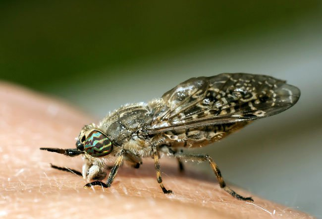 Horseflies, also called the green-headed monsters, are small flying insects.