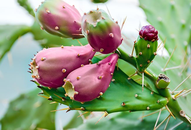 Nopal cactus is also called prickly pear cactus.