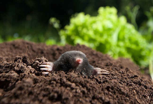 Moles are notorious not just for harming your gardens, lawns, and plants