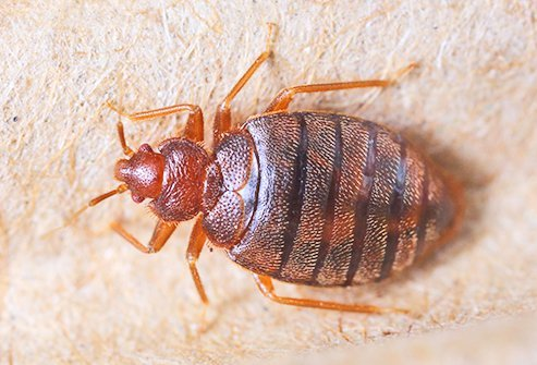 Bed bugs are blood-sucking insects.