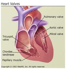 Heart valve disease get facts on symptoms and treatment heart valves ccuart Gallery