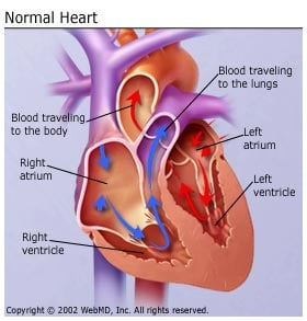 Normal Heart Illustration