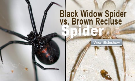 Black Widow Spider vs. Brown Recluse Spider