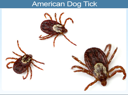 Brain Diseases: Rocky Mountain Spotted Fever