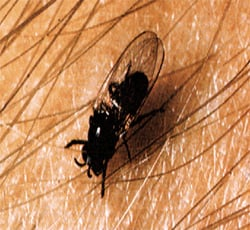 Photo of a blackfly