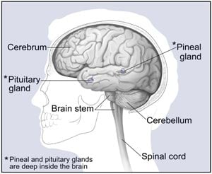 Picture of the Major Parts of the Brain