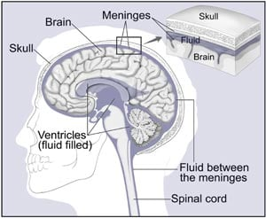Picture of the Brain and Nearby Structures