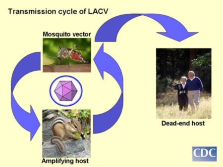 Picture of life cycle and mode of transmission of the La Crosse virus