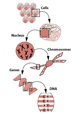 Illustration of how DNA is made.