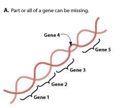Part or all of a gene may be missing.