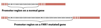 Illustration of the promoter region on a <i>FMR1</i> mutated gene.