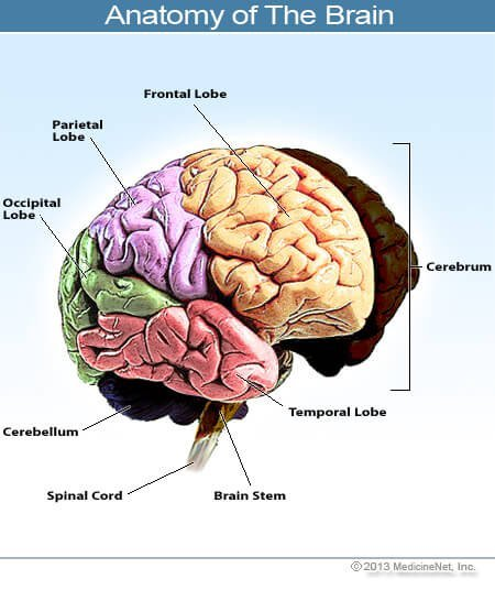 Picture of brain anatomy.