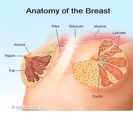 Picture of the anatomy of the breast