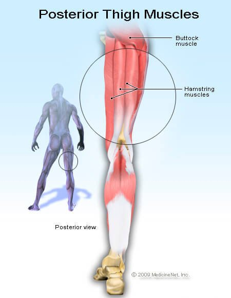 Picture of the hamstrings