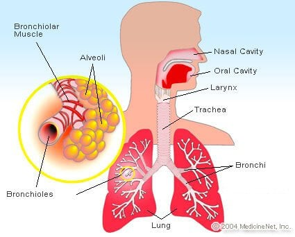 Picture of the alveoli and lung
