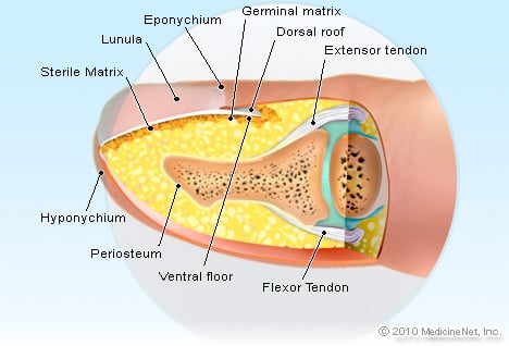 Fingernail anatomy picture image on medicinenet picture of fingernail anatomy ccuart Choice Image