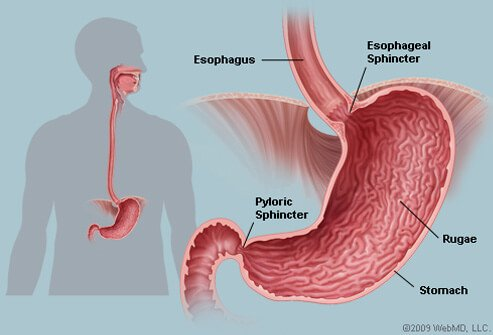 Picture of Stomach