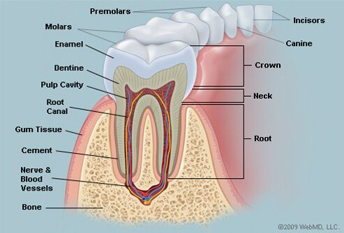 Picture of Teeth
