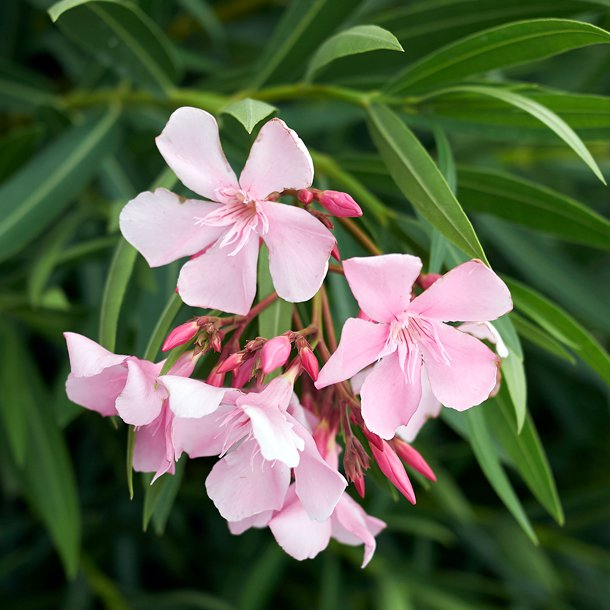 Is Oleander Extract a Valid COVID Treatment?