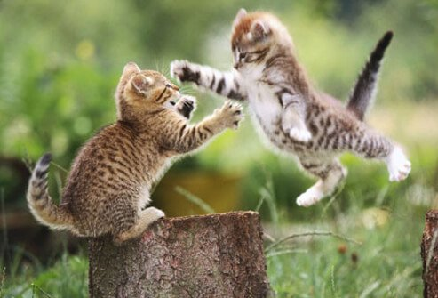 Two kittens playing.