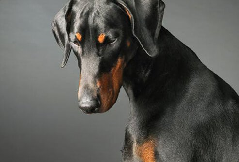 Photo of Doberman looking down.