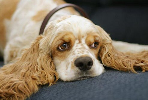 Photo of lazy Cocker Spaniel.