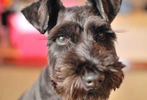 Photo of black Miniature Schnauzer.