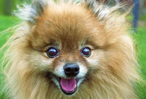 Photo of closeup of Pomeranian.