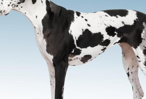 Photo of Great Dane on white.