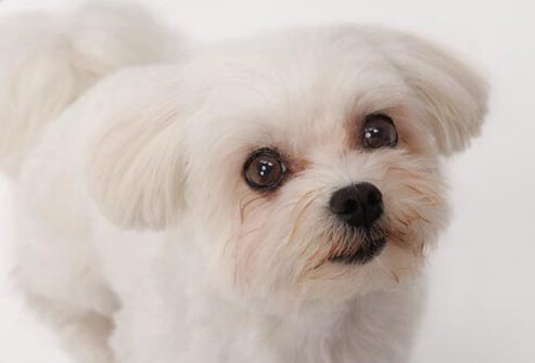 Photo of Maltese on white.