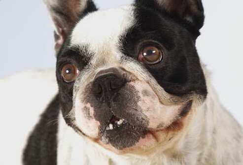 Photo of Boston Terrier.