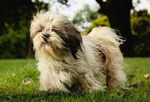 Photo of Shih Tzu in grass.