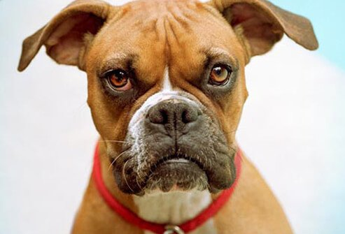 Photo of Boxer dog looking at camera.