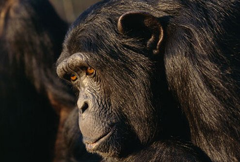 Around 1900, a hunter got the AIDS virus from a Pan troglodytes chimpanzee.
