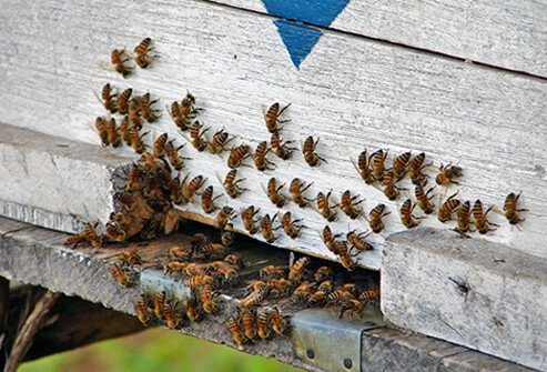 A close up of bees and their hive.