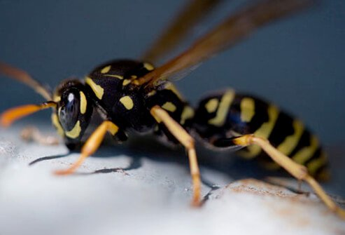 A photo of a yellow jacket wasp which can inflict multiple stings.