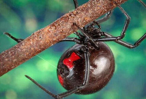 A female black widow with its distinguishable bright-colored 'hourglass' mark on the underside.