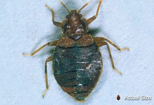 Bedbugs are small wingless insects with a flat body.