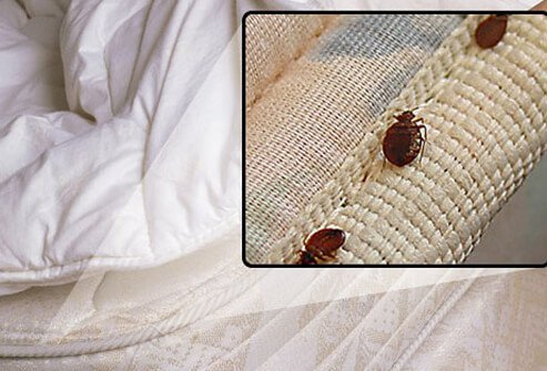 The bites of bedbugs can be difficult to identify, and not all red bites are due to bedbugs.