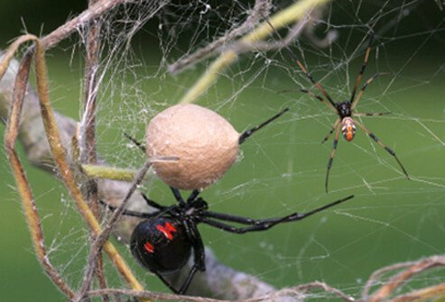 Male and female black widow spiders with egg sac.