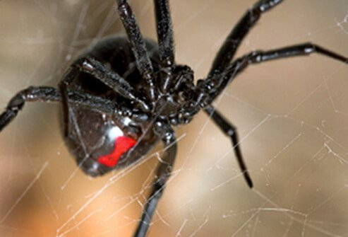The southern black widow spider is characterized by its distinctive red hour glass marking.