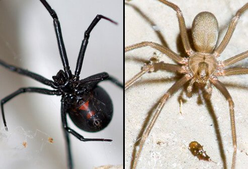 Black Widow Spider (left) and Brown Recluse Spider (right).