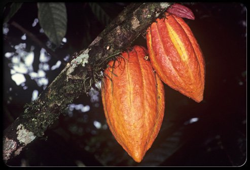 Ripe cacao seed pods before they've been picked.