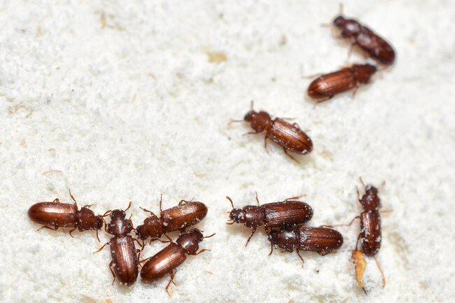 The two most common species are the red flour beetle and the confused flour beetle.