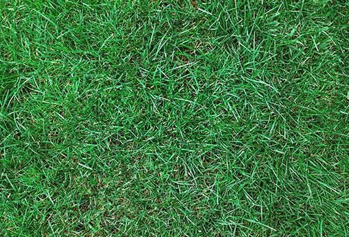 Pollen from the different types of this -- Kentucky bluegrass is a common one -- can cause serious allergies, especially in the summer months when there's more of it.