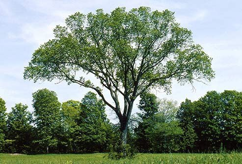 This tree grows in all but the coldest northern parts of the continental U.S. and makes pollen in the fall.