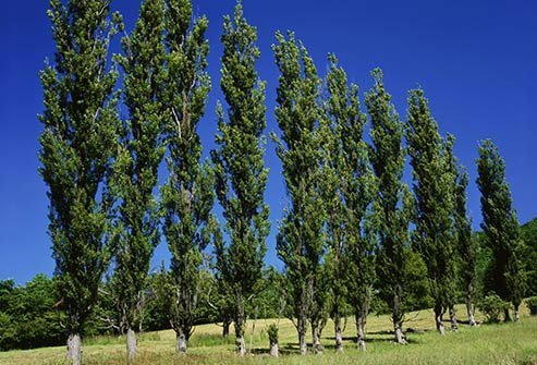 These trees grow throughout the U.S. and make pollen in the spring.